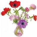 Flat Flowers Anemone roze