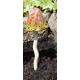 Paddenstoel Keramiek Bladvormige Hoed