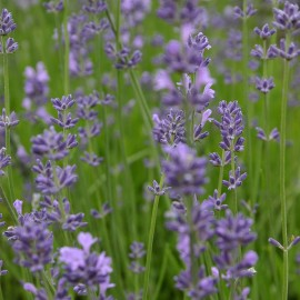 Bloemenzaad Lavendel