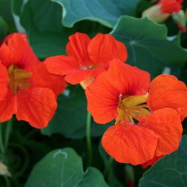 Bloemenzaad Oost-Indische kers, niet rankend