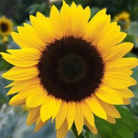 Bloemenzaad zonnebloem groot