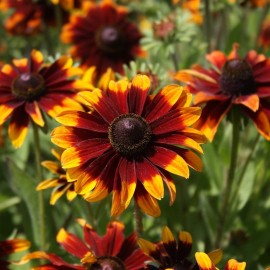 Bloemenzaad Rudbeckia 'Chocolate Orange'