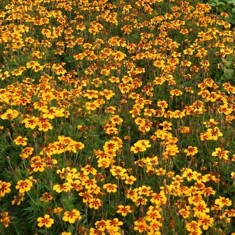 bloemenzaad afrikaantje, kleinbloemig