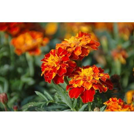 Bloemenzaad sterafrikaantje rood