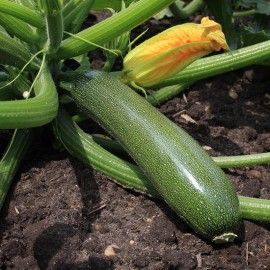 Groentezaad Courgette 'Zucchini'