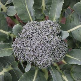 Broccoli 'Groene Calabrese'