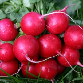 Radijs cherry belle