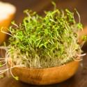 Kiemgroente Alfalfa