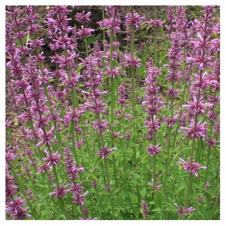 Bloemenzaad Dropplant Lavender Haze