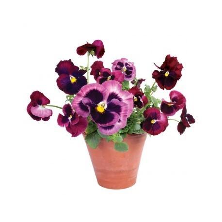 Flat Flowers Violen